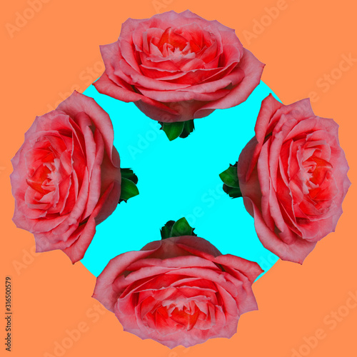 Fototapeta Funny collage of four rose buds flowers in light blue circle on orange background