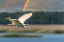 Egret Flying In Wetlands In La...