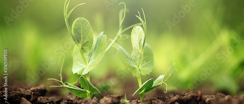 The pea shoots in rows on garden beds in the vegetable field Wallpaper Mural