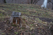 Charred Tree Stump In The Forest. Winter Landscape In Azerbaijan