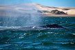 grey whale nose travelling pacific ocean while blowing
