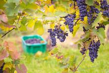Vine Stocks In Hungary In Autu...