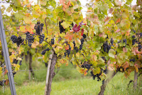 Vine stocks in Hungary in autumn. Canvas Print
