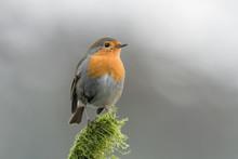 The Wonderful Robin On Branch (Erithacus Rubecula)