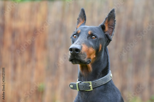 Photo Portrait eines kupierten Dobermann