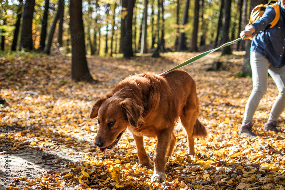 Fototapeta Big dog is pulling pet owner. Woman is walking with her retriever outdoors