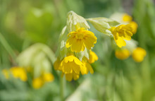 Yellow Flowers Of Primrose Clo...