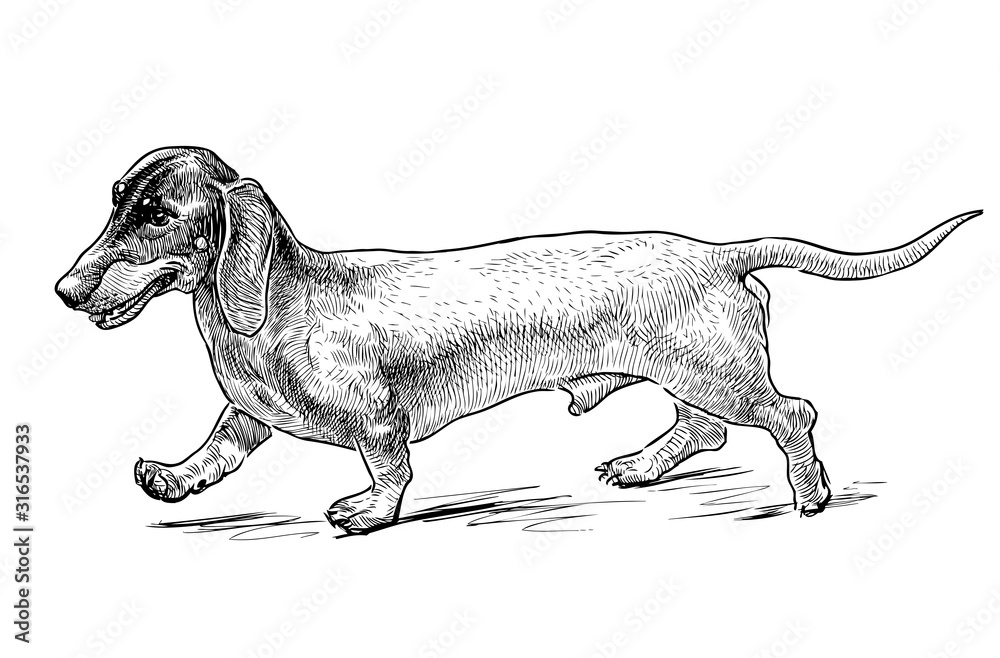Fototapeta Sketch of funny walking dachshund