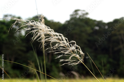 Fotografia  old and withered stalk of wheat