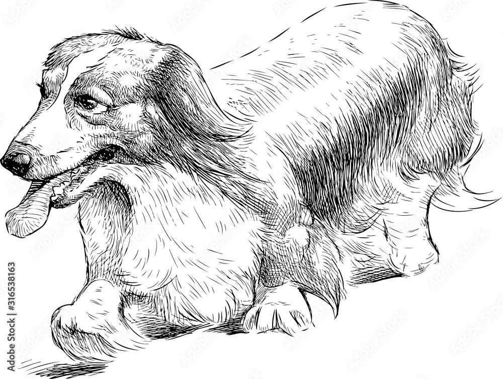 Fototapeta Sketch of longhair dachshund walking