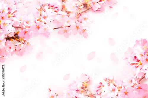 桜がふわふわ舞い降りる Canvas Print