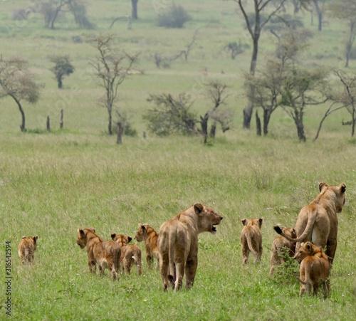 Lion family with cubs in savannah, Serengeti, Tanzania Africa Wallpaper Mural