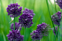 Blooming Purple Wild Onion Hea...