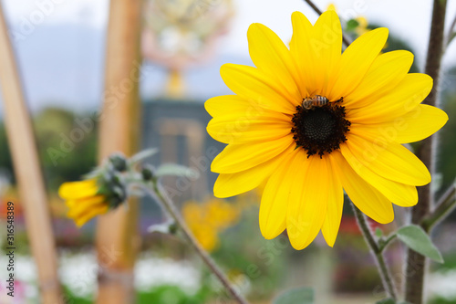 Fotografija yellow flowers, Black Eyed Susan or rudbeckia flower on white background with sp