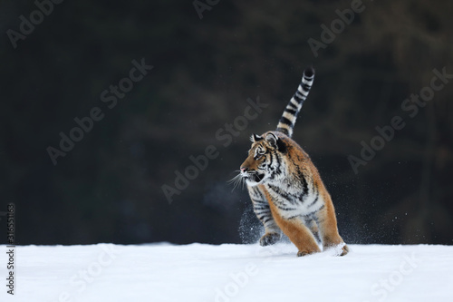 Photo Amur tiger in wild winter nature