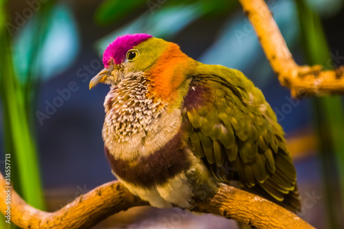 beautiful closeup portrait of a superb fruit dove, colorful tropical bird specie Wallpaper Mural
