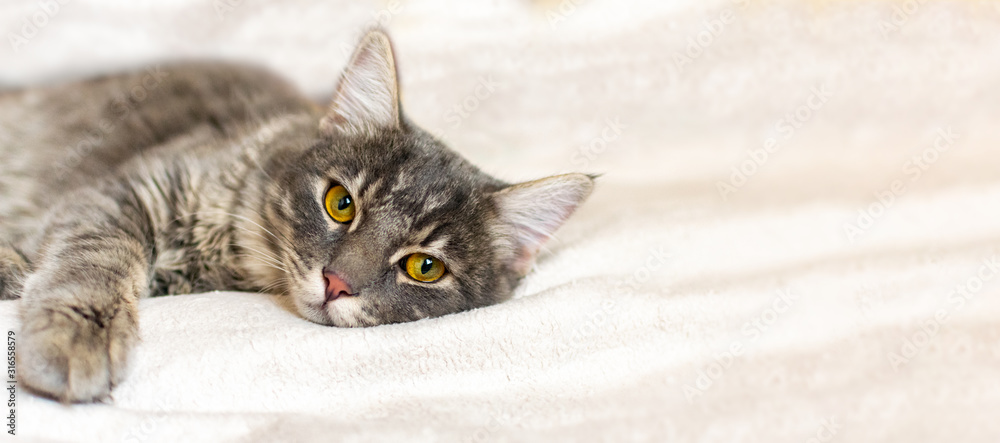 Fototapeta Sad sick gray cat lies on a white fluffy blanket in a veterinary clinic for pets. Depressed illness animal looks at the camera. Feline health background with copy space.