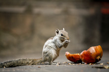 Cute Squirrel Eating Pomegrana...