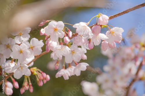 ふんわりしたイメージの桜の花 Wallpaper Mural