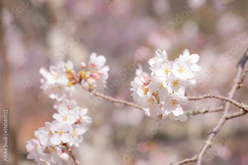 ふんわりしたイメージの桜の花 Canvas Print