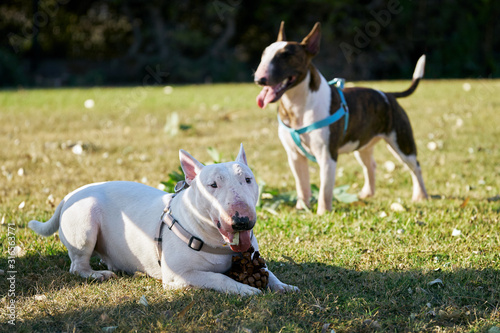 Fotografia Two bull terriers wearing harnesses on the green meadow in sunny summer day outd