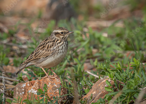 Photo Wood Lark - Lullula arborea on the meadow , Europe