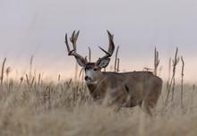 Buck Mule Deer In The Fall Rut...