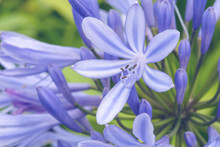 Blue Agapanthus Flowers On A Blurry Green Background. Flower Of Love. Agapanthus Is Used For Indoor Cultivation, Landscape Design And Flower Arranging. San Miguel Island, Azores, Portugal