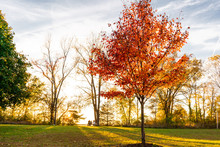 Close Up Of Colorful Red Autumn Tree In A Park With Family Having Picnic In Background