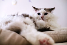 Purebred Ragdoll Cat Relaxing ...