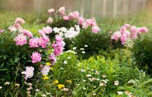 Pink Garden Peonies And Daisies Bloom In The Garden