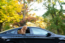 Golden Retriever Riding In Car...
