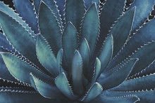 Agave Plant In Dark Blue Tone ...