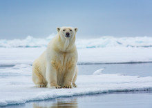 Polar Bear Sitting And Stares ...