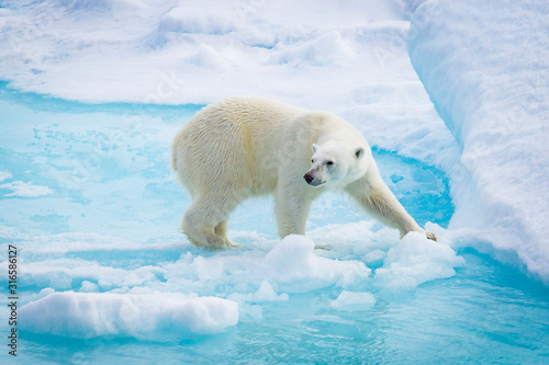 Fototapeta polar bear on floe obraz