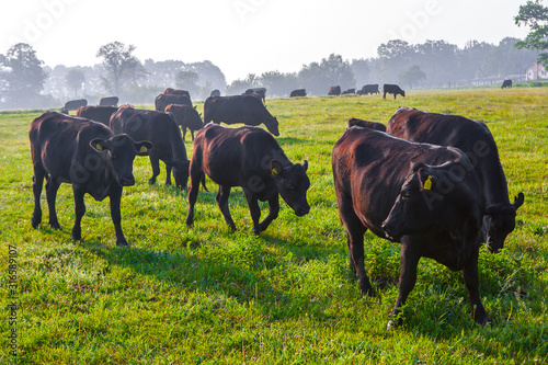 Summer morning in the pasture Canvas Print