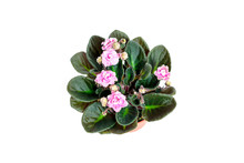Saintpaulia Blooms With Pink A...