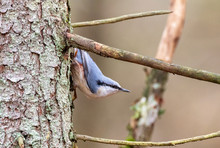 Eurasian Nuthatch In Autumn