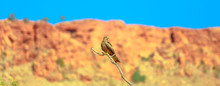 Banner Panorama Of Whistling Kite, Haliastur Sphenurus, Resting On A Branch With Blurred Nature Background. Desert Park At Alice Springs In Northern Territory, Central Australia.