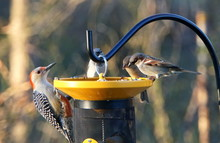 A Beautiful Red-bellied Woodpecker And A Group Of House Finch Eating Seeds On The Bird Feeder