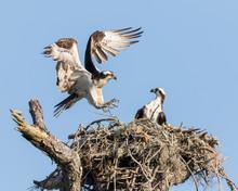 Osprey In A Nest