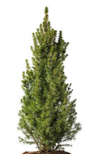 White Spruce Plant