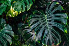 Dark Green Leaves Monstera Or Split Leaf Philodendron Light And Shadow Background.