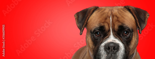 Fotografía boxer dog with brown fur hiding and looking at camera