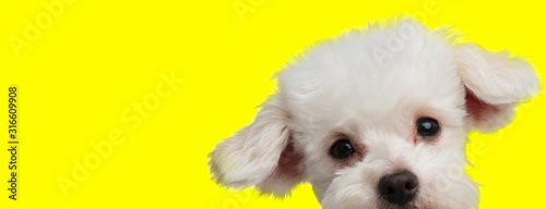 Valokuva  bichon dog with white fur hiding and looking at camera