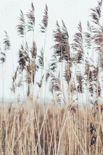Obraz na płótnie Grass in a field in the wind for a poster