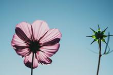 Pink Flower On Blue Sky Background