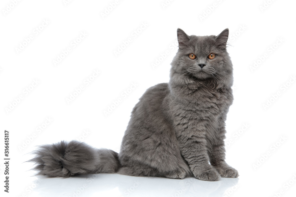 Fototapeta british longhair cat sitting one way and looking the other