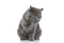 British Longhair Cat Sitting A...