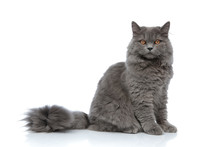 British Longhair Cat Sitting O...